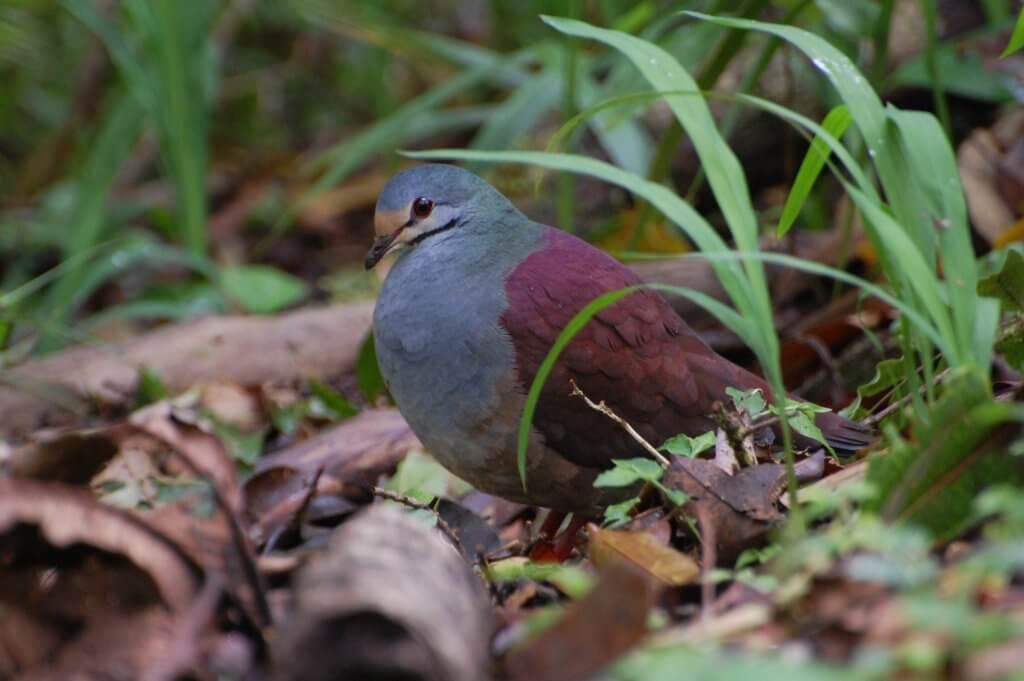 Geotrygon_costaricensis,_Monteverde,_Costa_Rica